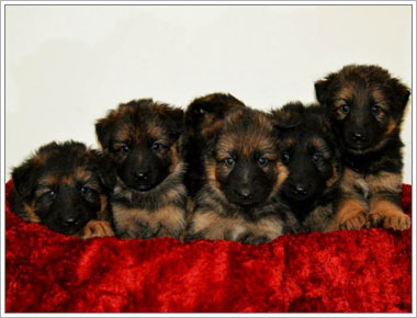 German Shepherd Puppies For Sale in Florida